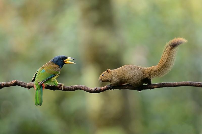 大拟啄木鸟和赤腹松鼠。.jpg