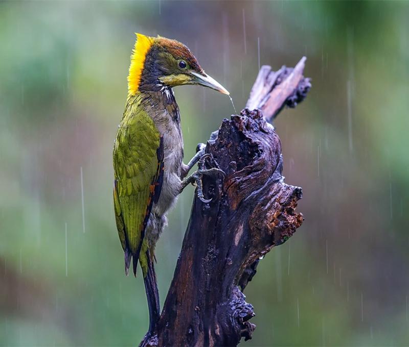 大黄冠啄木鸟.jpg